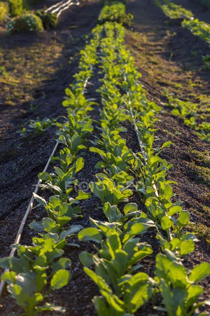 Рослини, що ростуть в рядах в сільській області — стокове фото