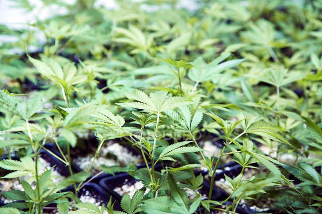 Gros plan sur les plants de cannabis en serre — Photo de stock