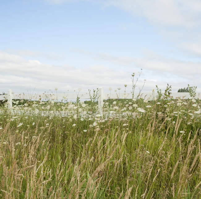 Tall grass and wildflowers under blue sky, Ontario, Canada — Stock Photo
