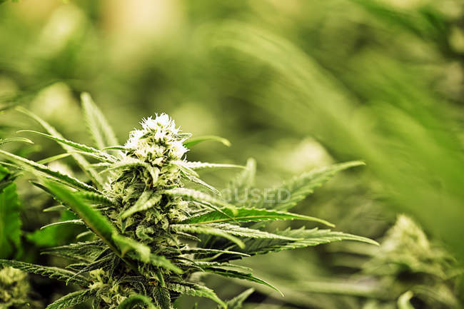 Close-up of green Cannabis plant in garden — Stock Photo