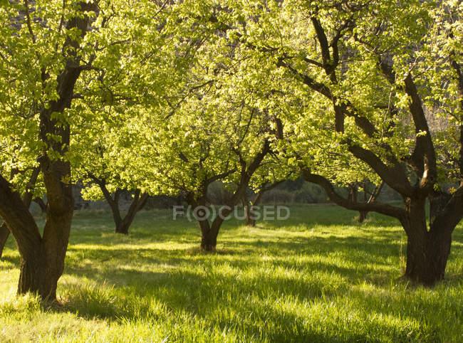 Arbres dans le verger herbeux, parc national de récif de capitale, Utah, Etats-Unis — Photo de stock