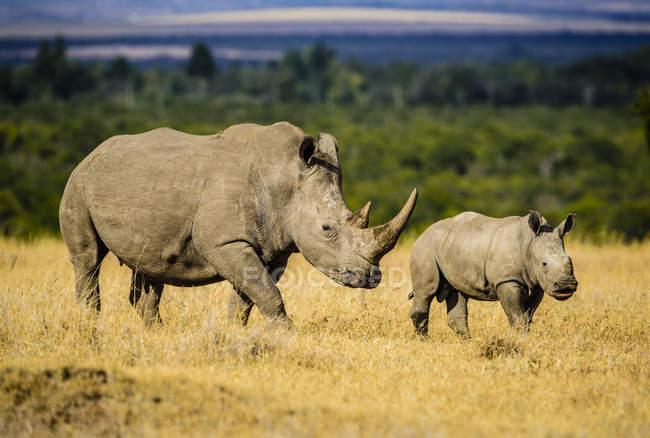 Rinoceronte y terneros caminando en el paisaje de la sabana - foto de stock