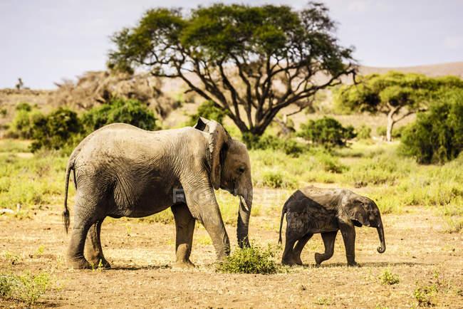 Elefante y ternero caminando en el paisaje arenoso y herbácea de Africa - foto de stock