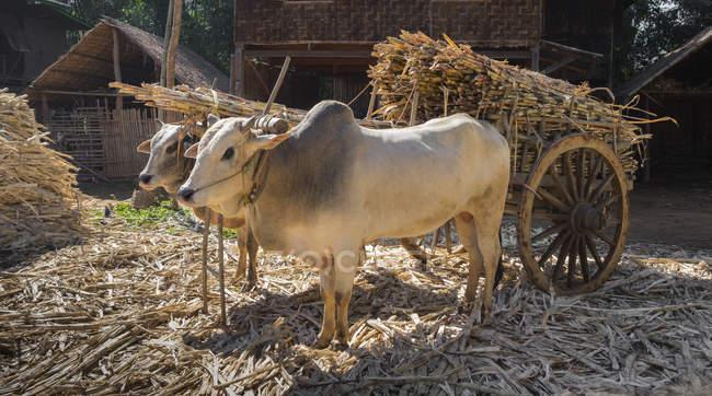 Коровы тянут телегу с бамбуком в деревне Мьянма — стоковое фото