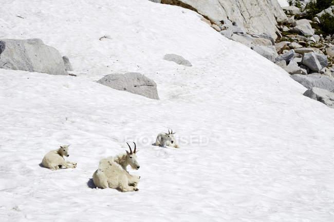 Горные козы лежат на снежном склоне холма в Северной Америке — стоковое фото
