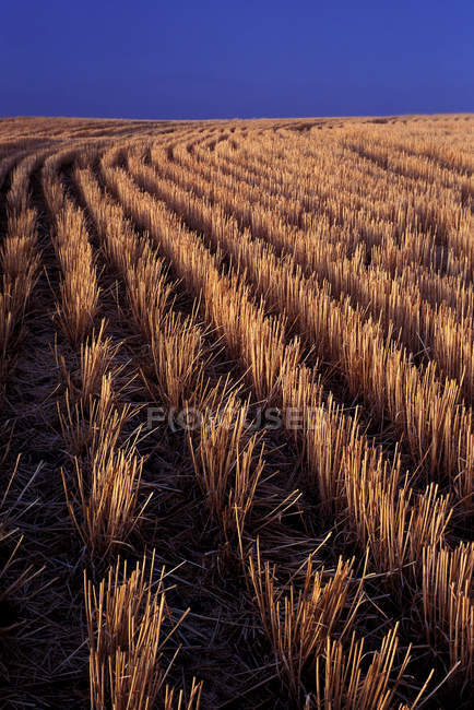Rows of harvested barley in farm field — Stock Photo