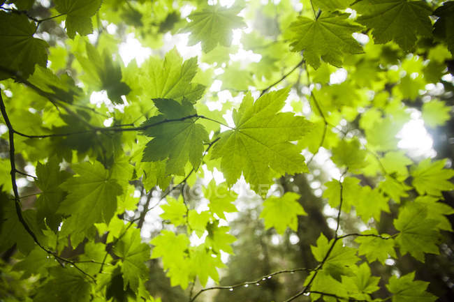 Close-up of green leaves on tree branches in backlit outdoors. — Fotografia de Stock