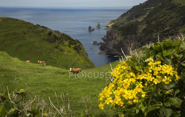 Vacas pastando en la ladera costera de las islas Azore, Portugal - foto de stock