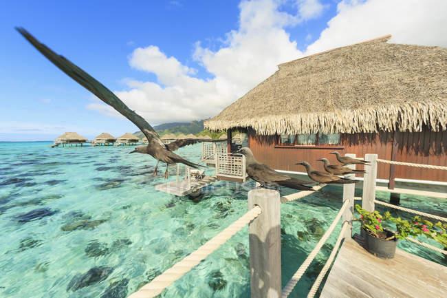 Uccelli appollaiati su ringhiera bungalow, Bora Bora, Polinesia Francese — Foto stock