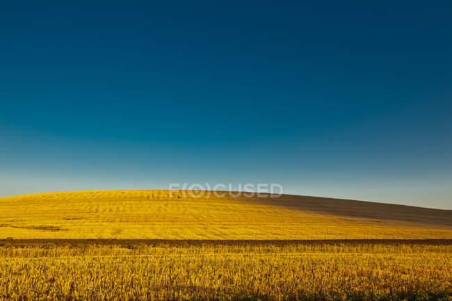 Field of golden wheat plants under blue sky — Stock Photo