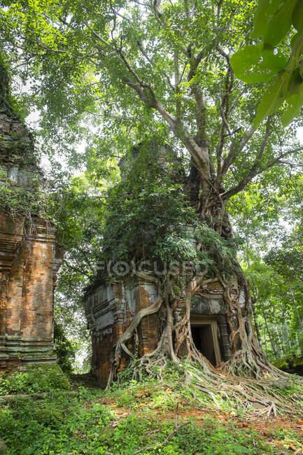 As raízes das árvores que crescem no Templo Prasat Pram, Koh Ker, Preah Vihear, Camboja — Fotografia de Stock