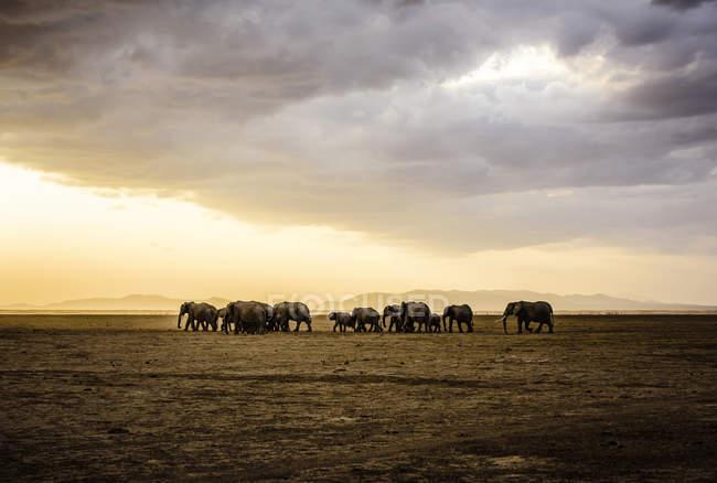 Rebaño de elefantes en el paisaje de la sabana de Africa - foto de stock