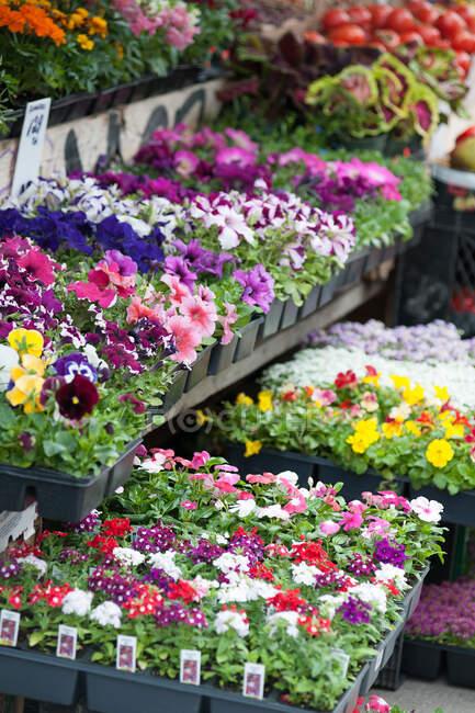Vista de close-up de belas flores coloridas em vaso no mercado — Fotografia de Stock