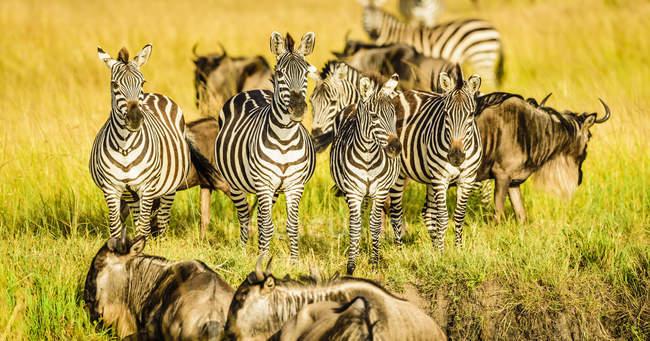 Зебри й вільдебісти стоять у траві в Кенії (Африка). — стокове фото