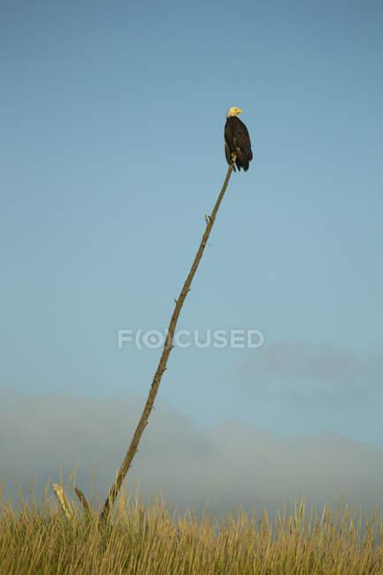 Лисий орел сидів на паличці проти синього неба — стокове фото