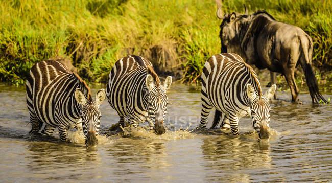 Zebras bebiendo en el agujero del agua en África - foto de stock