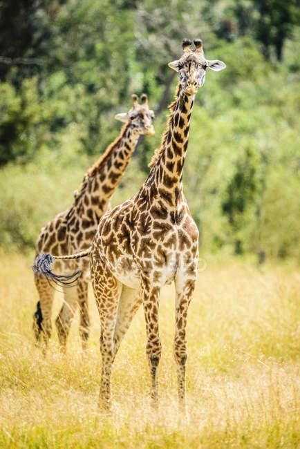 Giraffes walking in grassland of savanna landscape of Kenya — Stock Photo