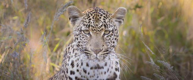 Porträt eines Leoparden, der in die Kamera auf einer braunen und grünen Wiese blickt. — Stockfoto
