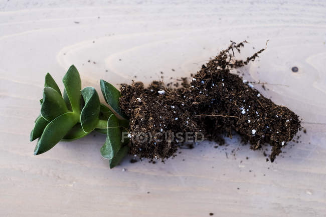 Small succulent with soil attached to roots on table. — Stock Photo