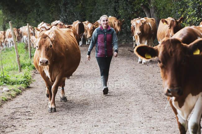 Junge Frau treibt Herde von Guernsey-Kühen über Landstraße. — Stockfoto
