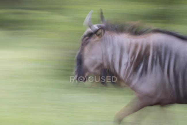Blurred view of wildebeest running on green background — Stockfoto