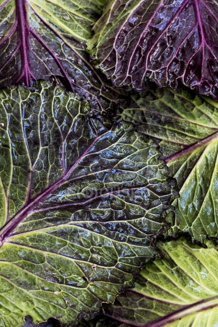 Still life of fresh green and red cabbage leaves. — Foto stock