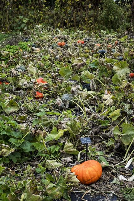 Овощной сад тыквы патч с молоткой покрыты тыквы созревают среди листвы и стебли растений. — стоковое фото