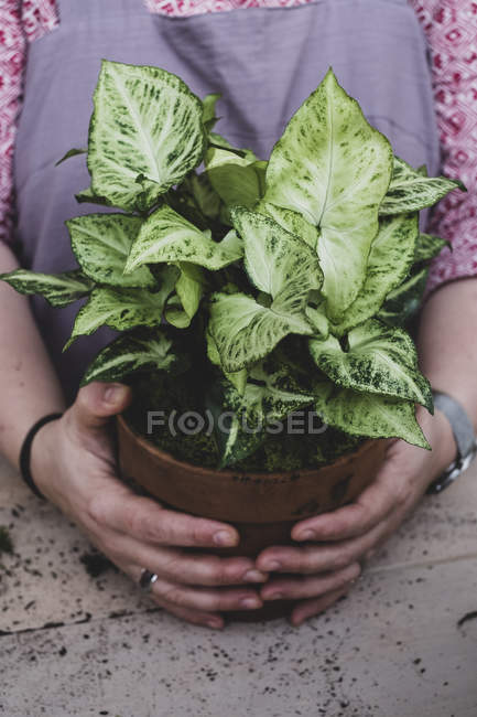 Close-up of person holding terracotta pot with plant with white and green variegated leaves. — Stock Photo