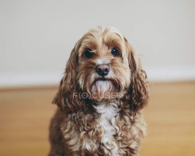 Cockapoo cane di razza mista con cappotto riccio marrone guardando in macchina fotografica — Foto stock