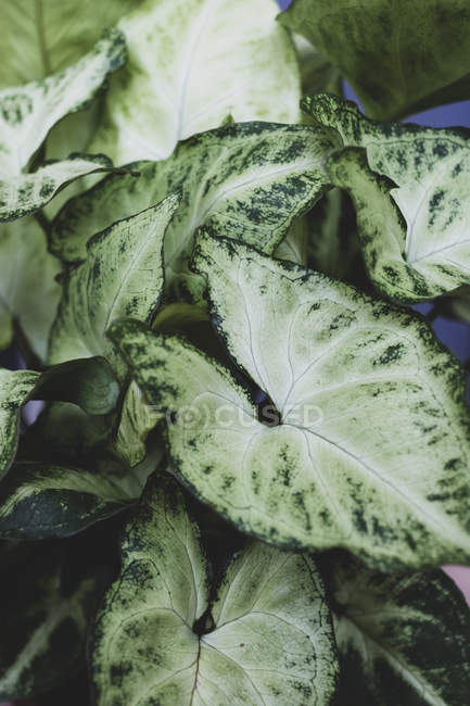 Primo piano della pianta con foglie variegate bianche e verdi. — Foto stock