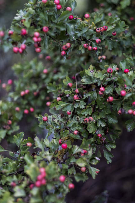 Close-up of branch with green leaves and red berries. — Foto stock