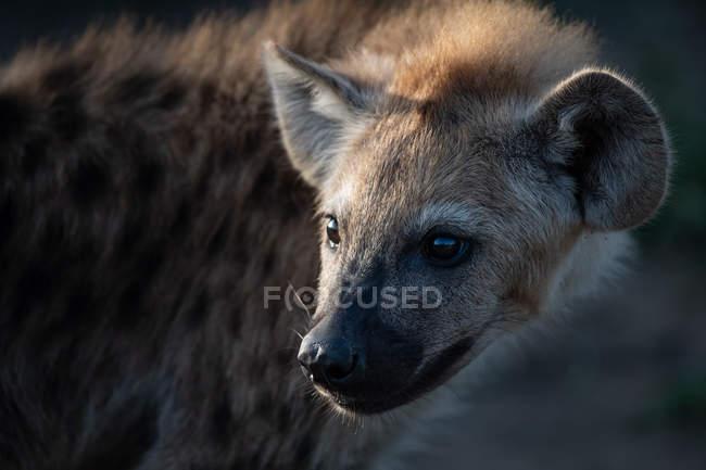 Пятнистый детёныш гиены в Африке, крупный план — стоковое фото