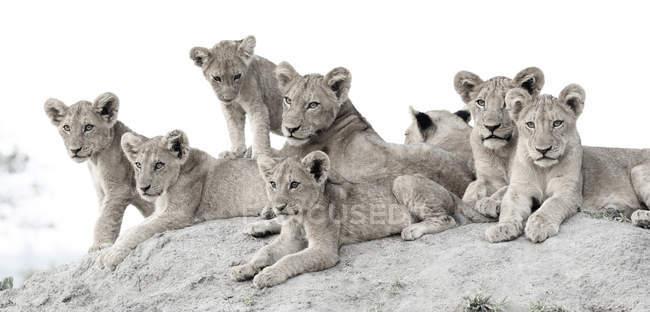Львиные детеныши, лежащие вместе на термитном кургане, смотрят в камеру, Африка . — стоковое фото