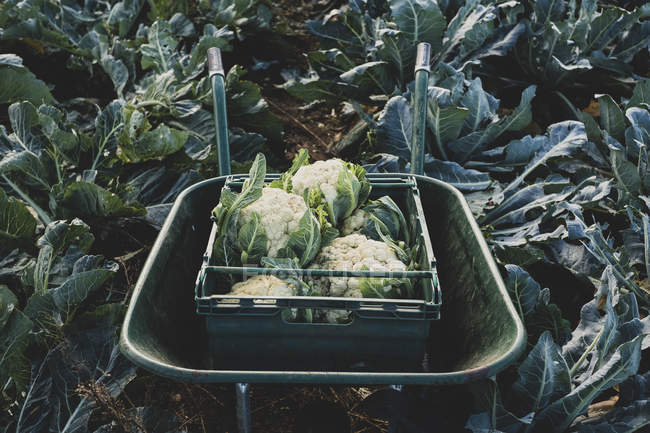 Close-up of plastic crate with freshly harvested cauliflower in wheelbarrow. — Stock Photo