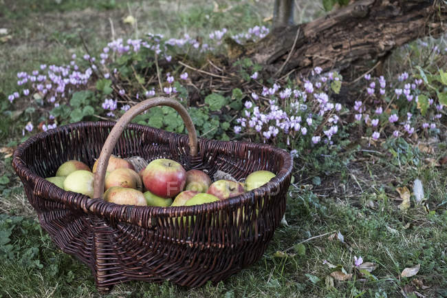 Close-up of freshly picked apples in brown wicker basket. — Stock Photo
