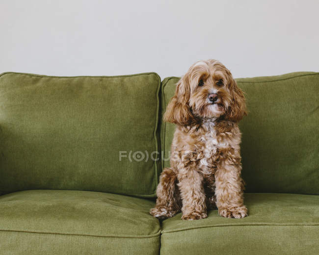 Cockapoo cane di razza mista con cappotto riccio marrone seduto sul divano — Foto stock
