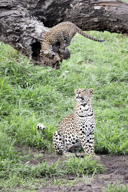 Female leopard sitting on ground and looking up at cub on log. — стокове фото