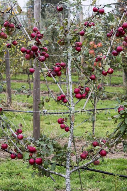 Manzano en huerto orgánico jardín en otoño con frutos rojos en las ramas - foto de stock