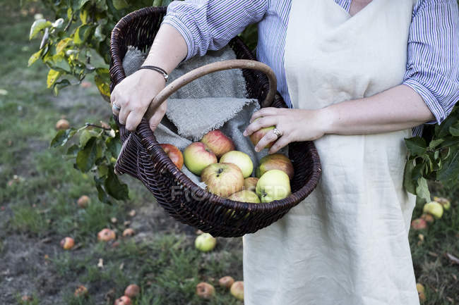 Close-up of woman wearing apron holding brown wicker basket with freshly picked apples. — Stock Photo