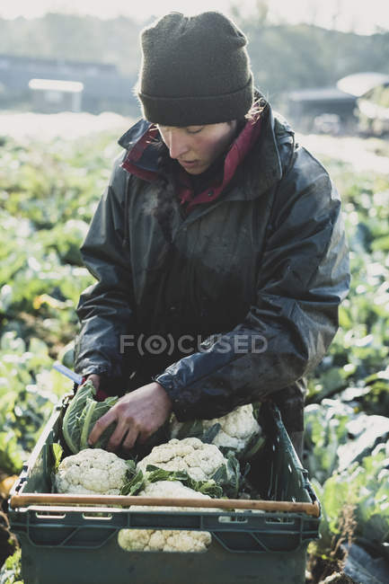Woman standing in field, putting freshly harvested cauliflowers in plastic crate. — Stock Photo