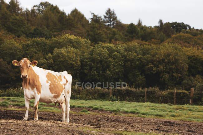 Piebald rouge et blanc Guernesey vache sur le pâturage boueux. — Photo de stock