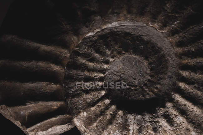 Close-up of brown fossilized nautilus spiral ridged shape in stone, fossil relief. — Stock Photo