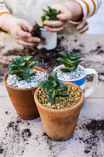 Close-up of plants in pots and person planting succulents in gravel. — Stock Photo
