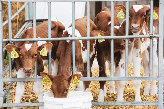 Gruppo di vitelli Guernsey in penna metallica in azienda . — Foto stock
