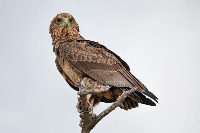 Несовершеннолетняя птица bateleur сидела на ветке — стоковое фото