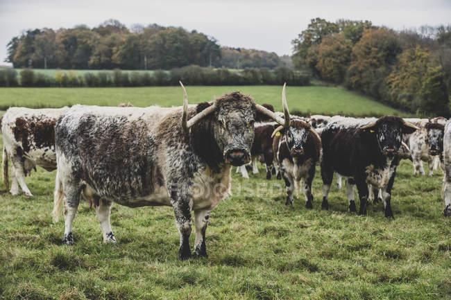 Manada de vacas Longhorn inglesas de pie sobre pastos herbáceos . - foto de stock