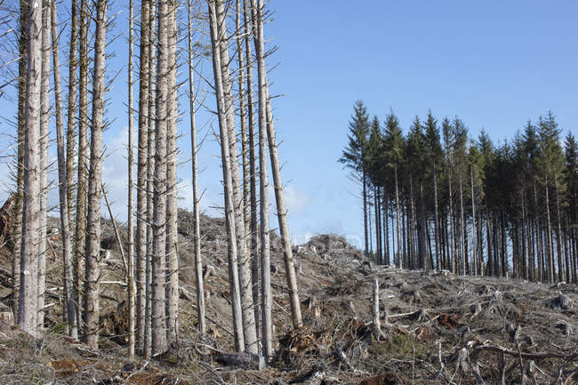 Открытый ландшафт на склоне холма со стволами и бревнами елей, болиголовов и елей против голубого неба — стоковое фото