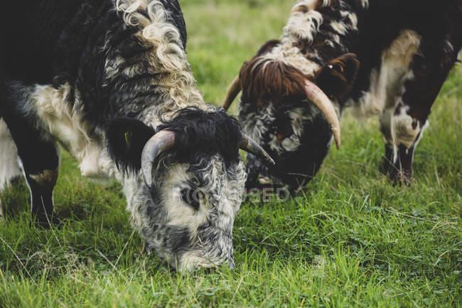 Primer plano de dos vacas inglesas Longhorn pastando en pastos herbáceos. - foto de stock