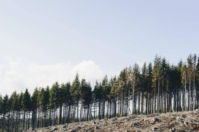Hillside с зарегистрированными ели, болиголовила и ели в обезлесении пейзаж — стоковое фото