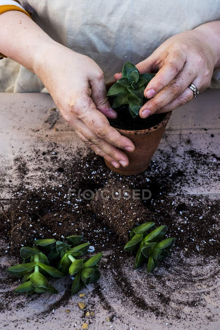 Close-up of person planting succulent in potting soil in terracotta pot, succulent plants with soil attached to roots on table. — Stock Photo